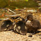 Ducklings by Jonathan Cox
