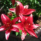 Reddish-Pink Lilies and Buds with Raindrops by MidnightMelody