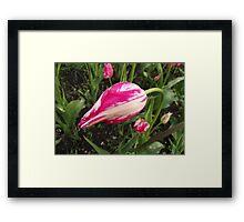 Tulip Bud Framed Print