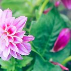 Hot Pink Dahlia Flower by Elizabeth Thomas