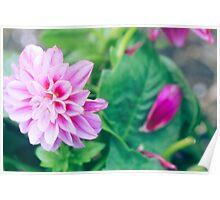 Hot Pink Dahlia Flower Poster