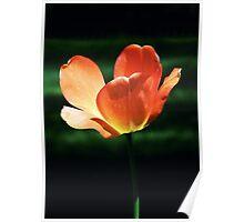 Orange Glow Tulip Poster