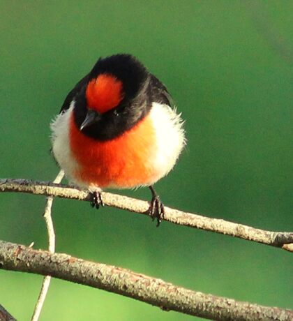 Beautiful red capped male robin, Sticker
