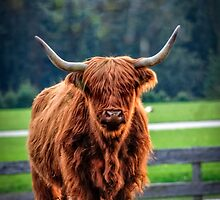 Highland cattle by Zoltán Duray