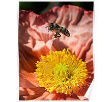 Poppy landing pad Poster