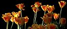Yellow Tulips - Ottawa Tulip Festival by Debbie Pinard