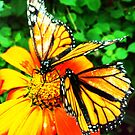 Two orange Butterfly's by Alex & Louise Martin