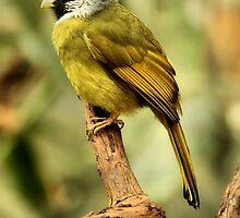 Yellow-Green Grosbeak by SuddenJim