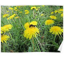 Bee on dandelion Poster