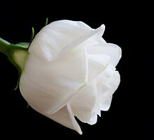 The White Rose by Kevin Hayden