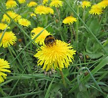 Bumble bee on dandelion (2) by Eleanor11