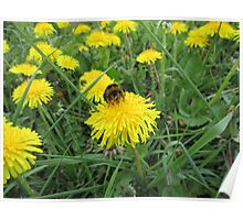 Bumble bee on dandelion (2) Poster