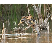 Green Winged Teal In Flight.  Photographic Print