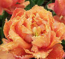 Single Spring Tulip by Diane Trummer Sullivan