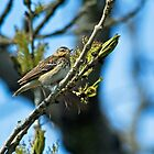 Tree Pipit by Jamie  Green