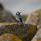 Pied Wagtail.. by Lauren Tucker