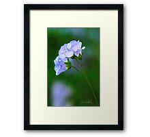 Glorious Greek Valerian Blossoms Framed Print