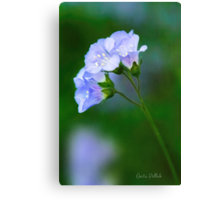 Glorious Greek Valerian Blossoms Canvas Print