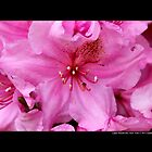 Rhododendron - Furnivall's Daughter - Upper Brookville, New York by © Sophie Smith