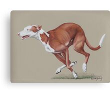 Ibizan Hound running Canvas Print