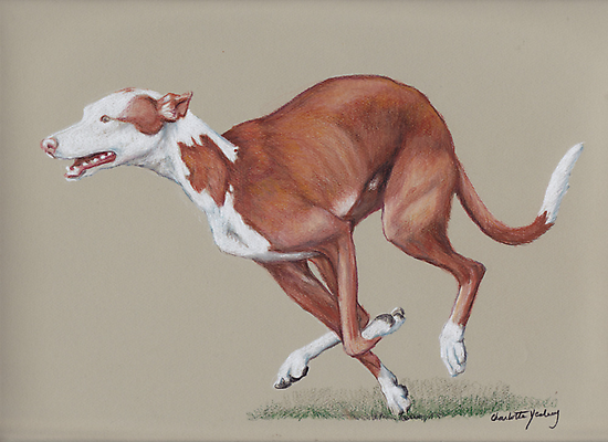 Ibizan Hound running by Charlotte Yealey