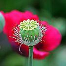 Heart of a Poppy by Terri~Lynn Bealle