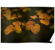 Fagus leaves (nothofagus gunnii) Poster