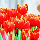 Orange Tulips by Pinni Flescher