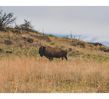 Bison, Wild and Free Photographic Print