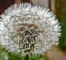 Dandelion by JEZ22