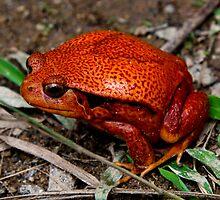 Tomato Frog (Dyscophus guineti )   Toliary Madagascar by john  Lenagan