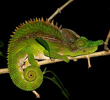 I'm not here  (Furcifer antimena)   Ifaty Madagascar by john  Lenagan