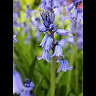 Hyacinthoides Hispanica Excelsior - The Spanish Bluebell - Upper Brookville, New York by © Sophie Smith