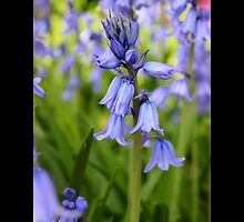Hyacinthoides Hispanica Excelsior - The Spanish Bluebell - Upper Brookville, New York by © Sophie W. Smith