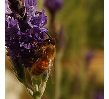 Beautiful Bee on Sidone Lavender Photographic Print