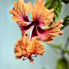 Hibiscus by SuddenJim