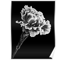 Carnation in Mono 1 Poster