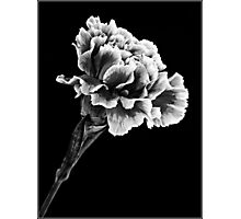 Carnation in Mono 1 Photographic Print