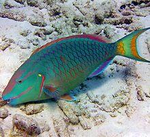 Parrotfish by emilyduwan