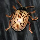 Willow Leaf Beetle by sherln