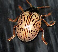 Willow Leaf Beetle by Sheri Nye