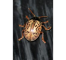 Willow Leaf Beetle Photographic Print