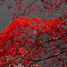 Japanese Maple by Kenneth Hoffman