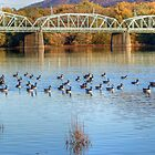 Canadian Geese Flock To The Old Arch Street Bridge by Gene Walls