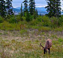 Elk in Jasper, Alberta by Jessica Karran