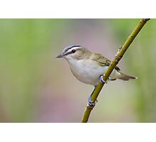 Red-eyed Vireo. Photographic Print