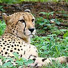 Byron~ De Wildt Cheetah Research Center, SA. by Susan Bergstrom