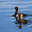 Lesser Scaups (Aythya affinis): Handsome Couple by John Williams