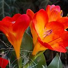 1455-ORANG FREESIA by elvira1