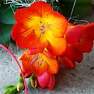 1457-ORANG FREESIA by elvira1